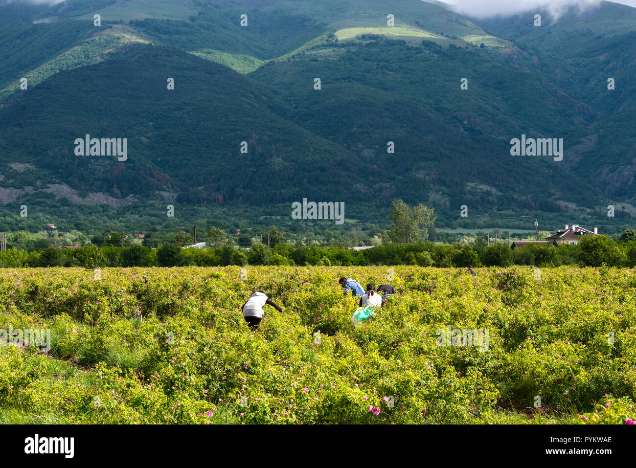 BULGARIA, VALLEY OF ROSES,. Workers plucking rose petals for rose oil production near Kazanlak - Stock Image