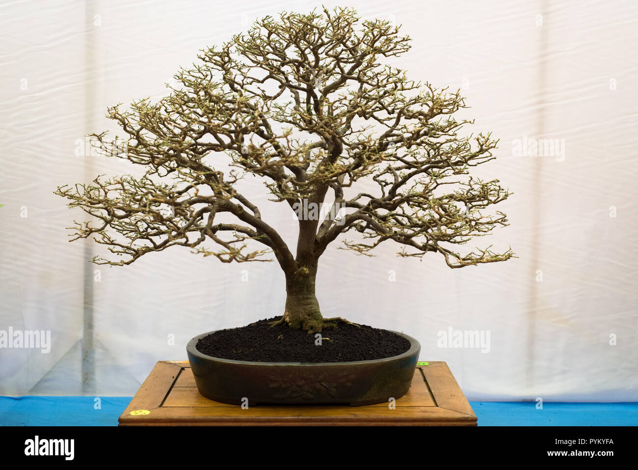 bonsai tree isolated on white background  Japanese TRAY