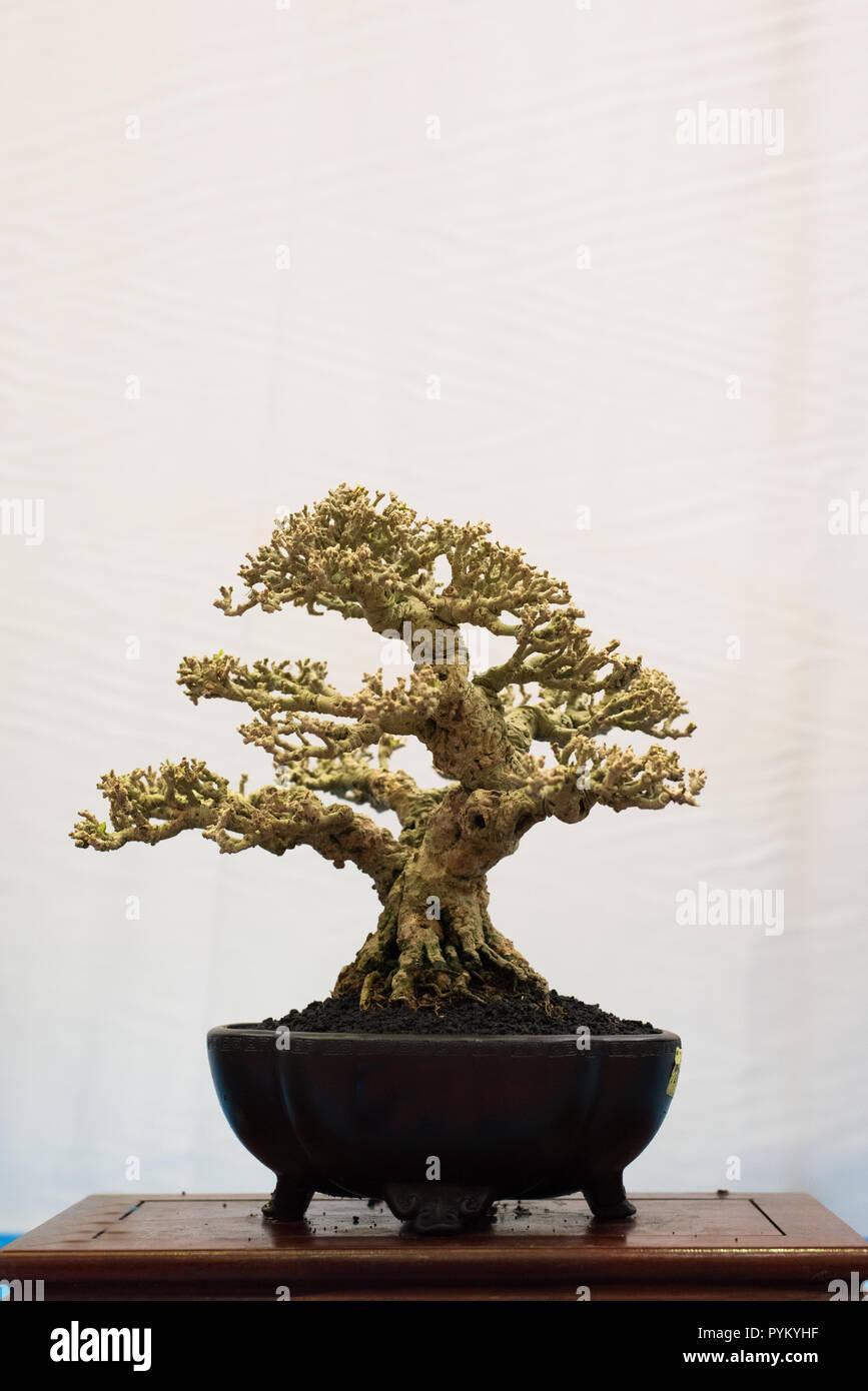 Bonsai Tree Isolated On White Background Japanese Tray Planting Or Japanese Art Nature Concept Stock Photo Alamy