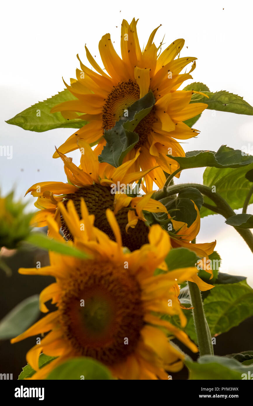 Tall Sunflowers Stock Photos & Tall Sunflowers Stock Images - Alamy