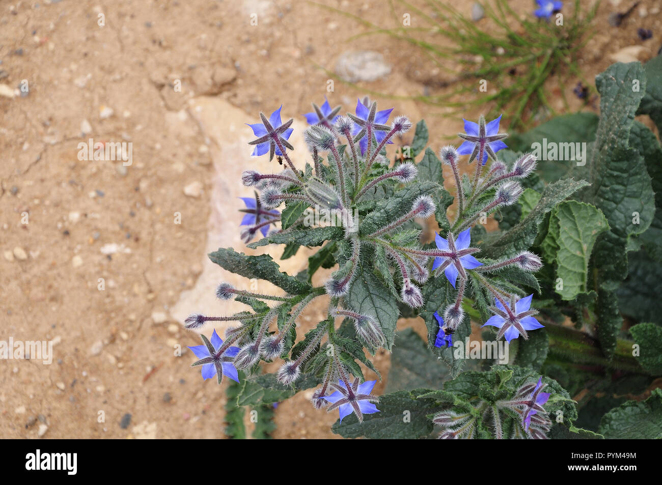 borage shrub seen from above on dry calcareous clay with blue flowers and hairy leaves - Stock Image
