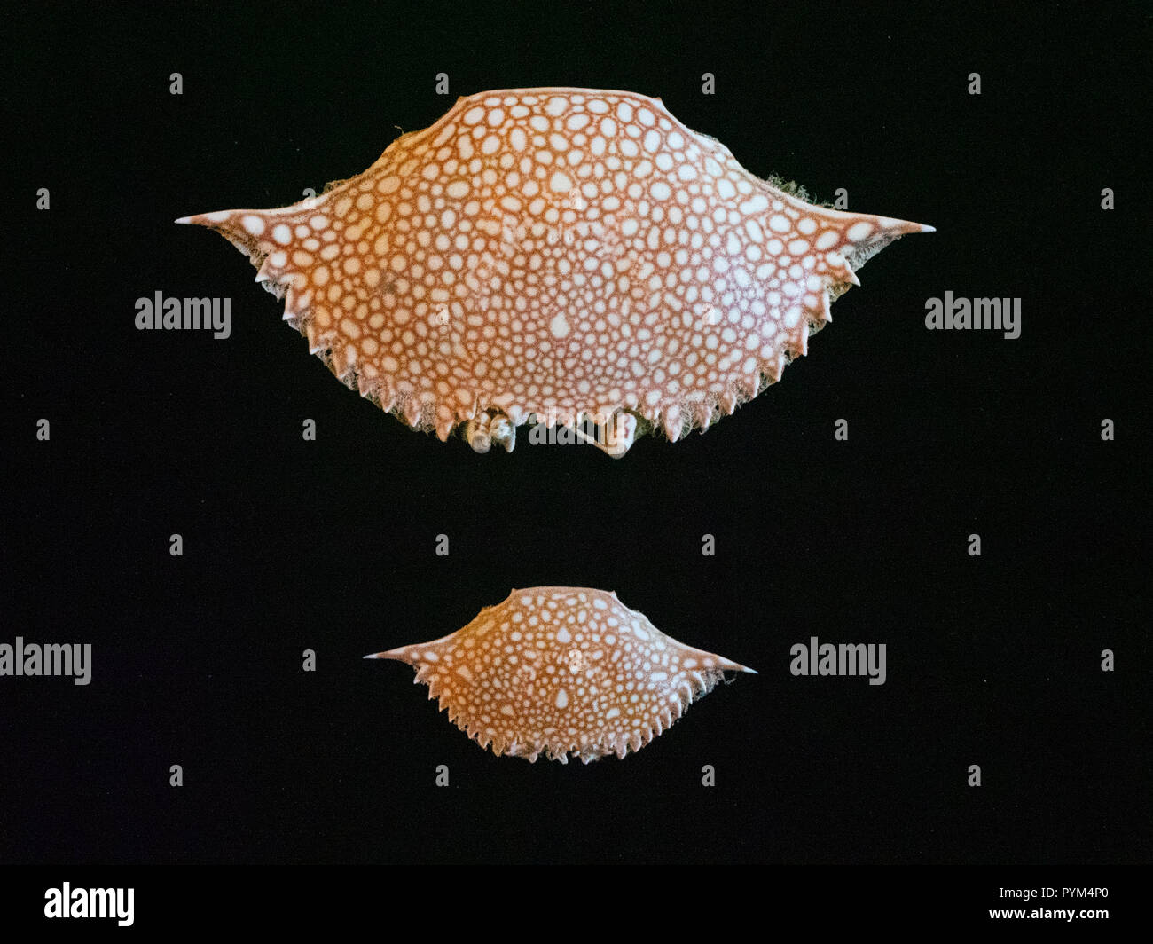 Carapaces of speckled swimming crab Arenaeus cribrarius from Tybee Island near Savannah Georgia USA - Stock Image