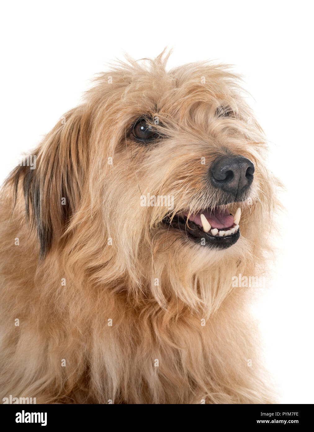 pyrenean shepherd in front of white background - Stock Image