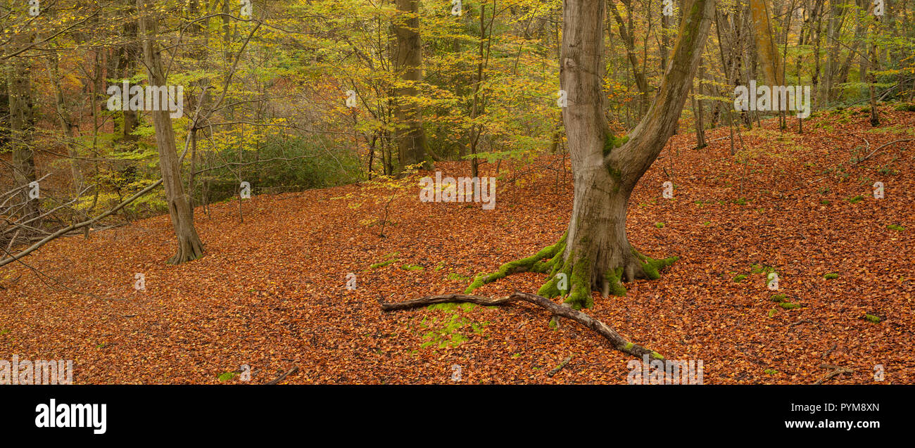 Autumn colours of the woodland in Epping forest, Essex, England. Autumn forest hues of gold yellow bronze brown orange in the trees making the scene. - Stock Image