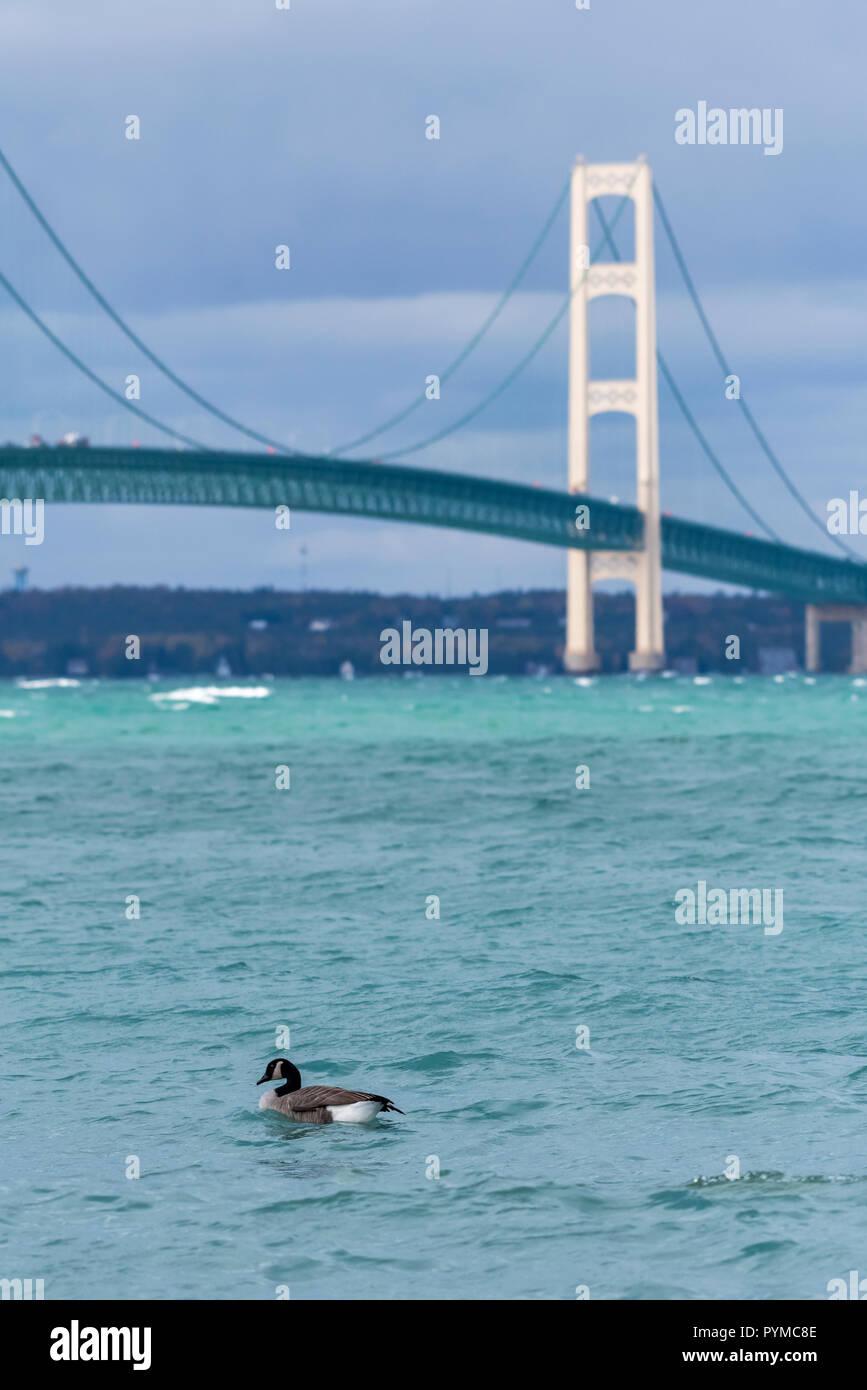 Canada Goose (Branta canadensis) swimming in front of the Mackinac Bridge in the Straits of Mackinac (Lake Michigan and Lake Huron). Mackinaw City, Mi - Stock Image