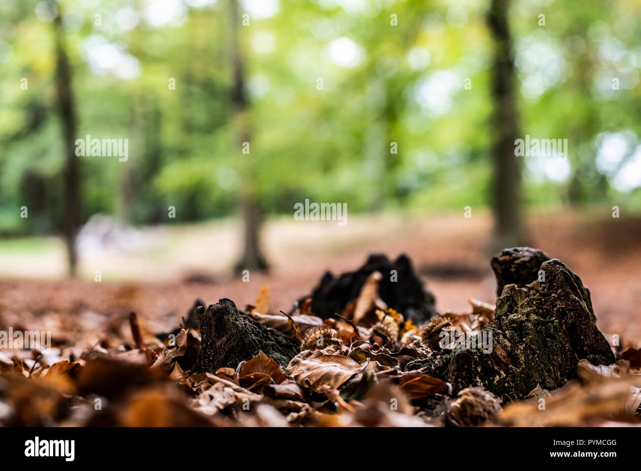 The view of the rest of an organically decomposed cut tree stump in the autumn wetness surrounded by dead leaves and young trees growing. - Stock Image