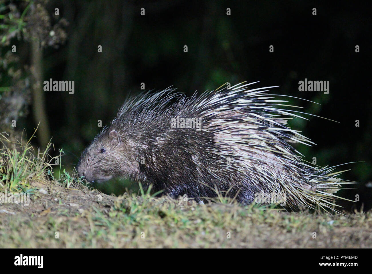 Malayan Porcupine (Hystrix brachyura) foraging at night in the forest, Kaeng Krachan National Park, Thailand - Stock Image