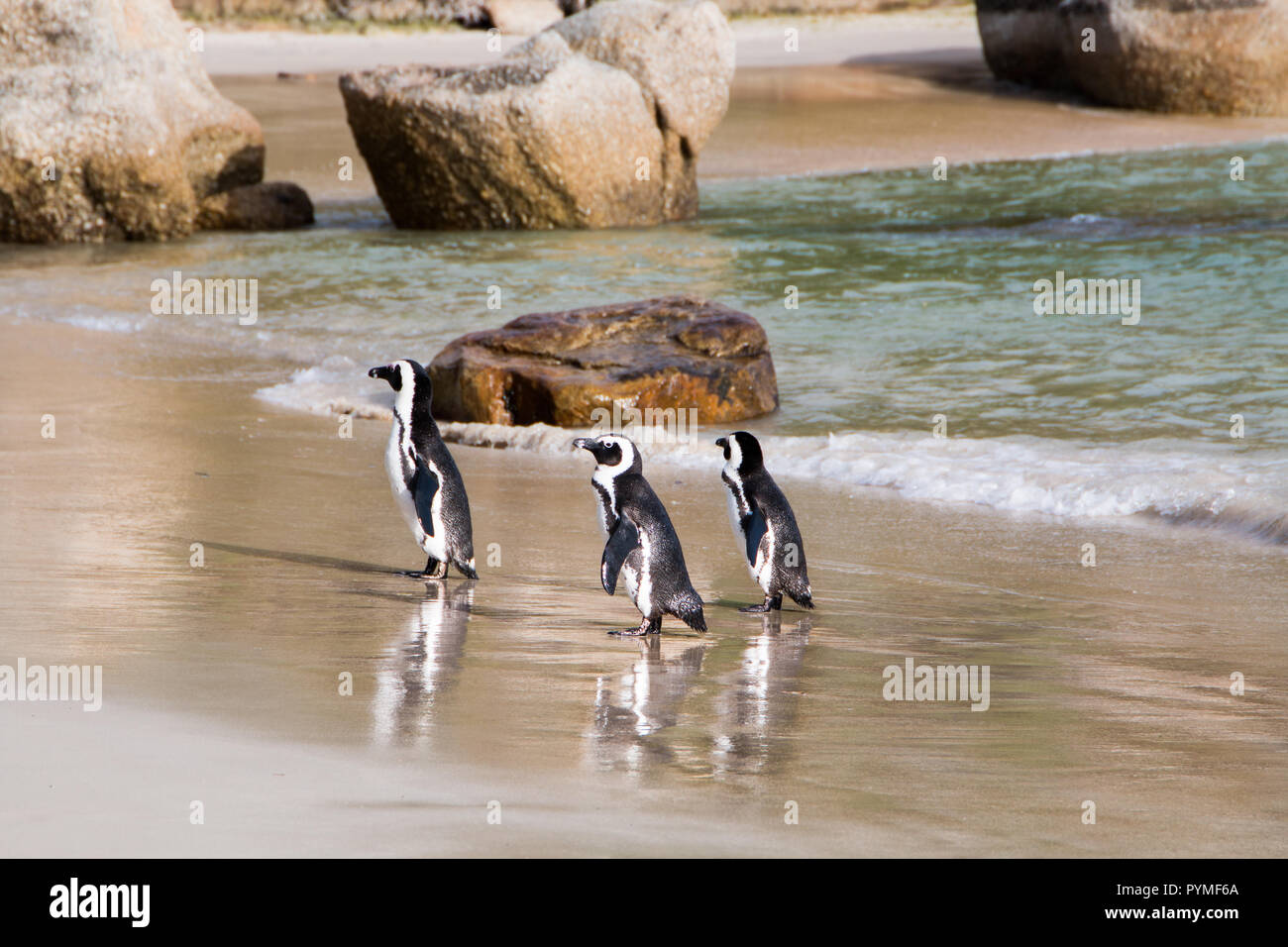 Three Jackass penguins walking out of the water onto the beach side view with ocean in background and reflections on wet sand. - Stock Image