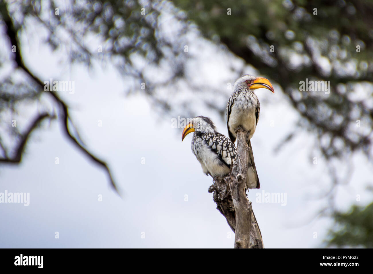 Two Southern Yellow-billed Hornbills sitting on branch. Birds with pale underparts and spotted wings and large yellow bills. - Stock Image