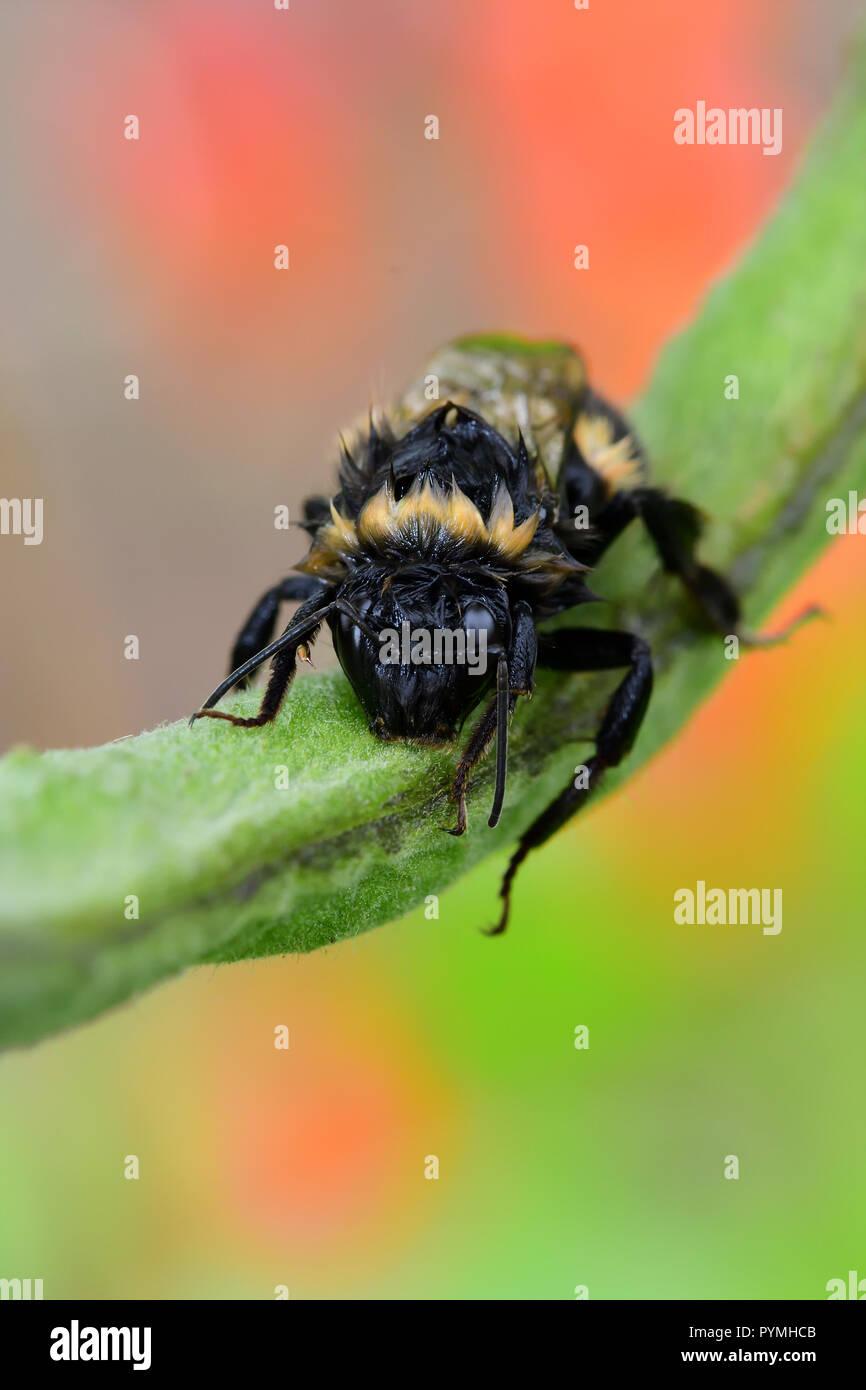 Macro shot of a wet bumble bee climbing on a runner bean pod - Stock Image