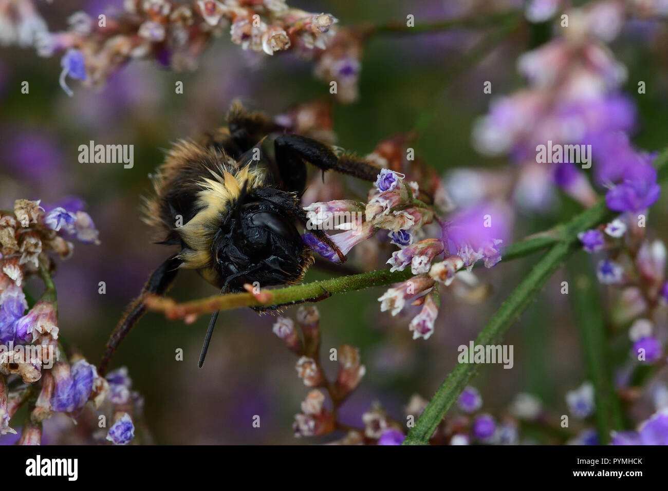 Macro shot of a wet bumble bee on pink flowers - Stock Image