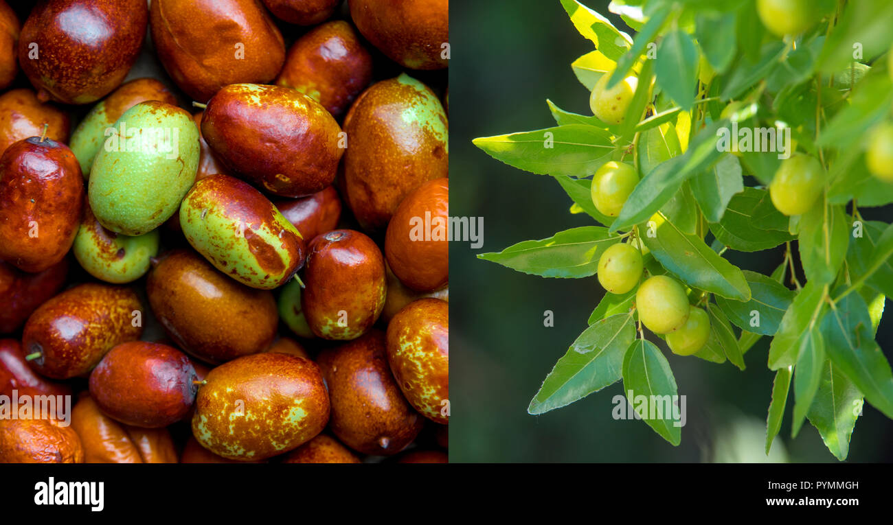 Ripe jujube and green berries on branches (jujube real, Chinese date, capiinit, jojoba, lat. In the process jujuba). Heart protection. - Stock Image