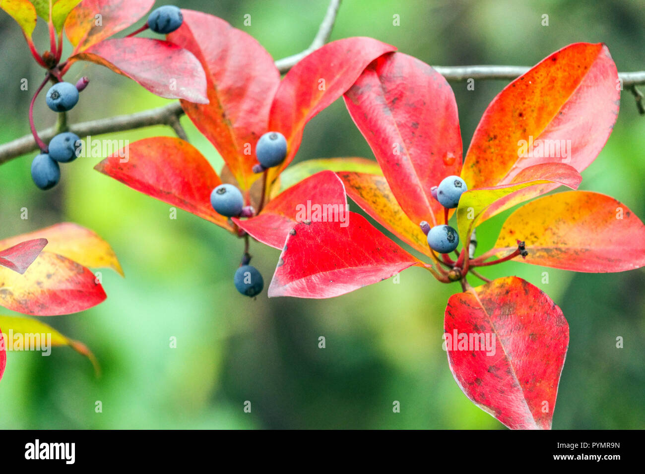 Nyssa sylvatica, Tupelo tree, Black gum autumn red leaves and berries - Stock Image