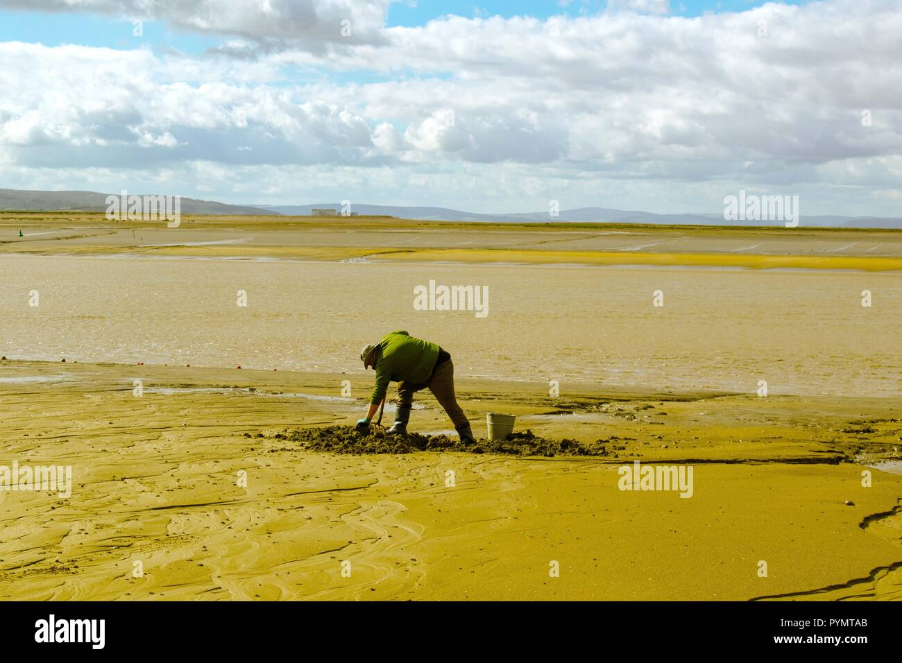 Man digging for fishing bait  on beach - Stock Image