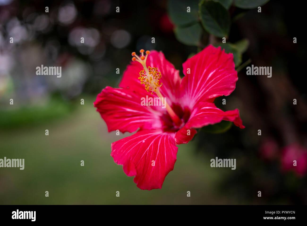 Roter Hibiskus Nahaufnahme - Stock Image