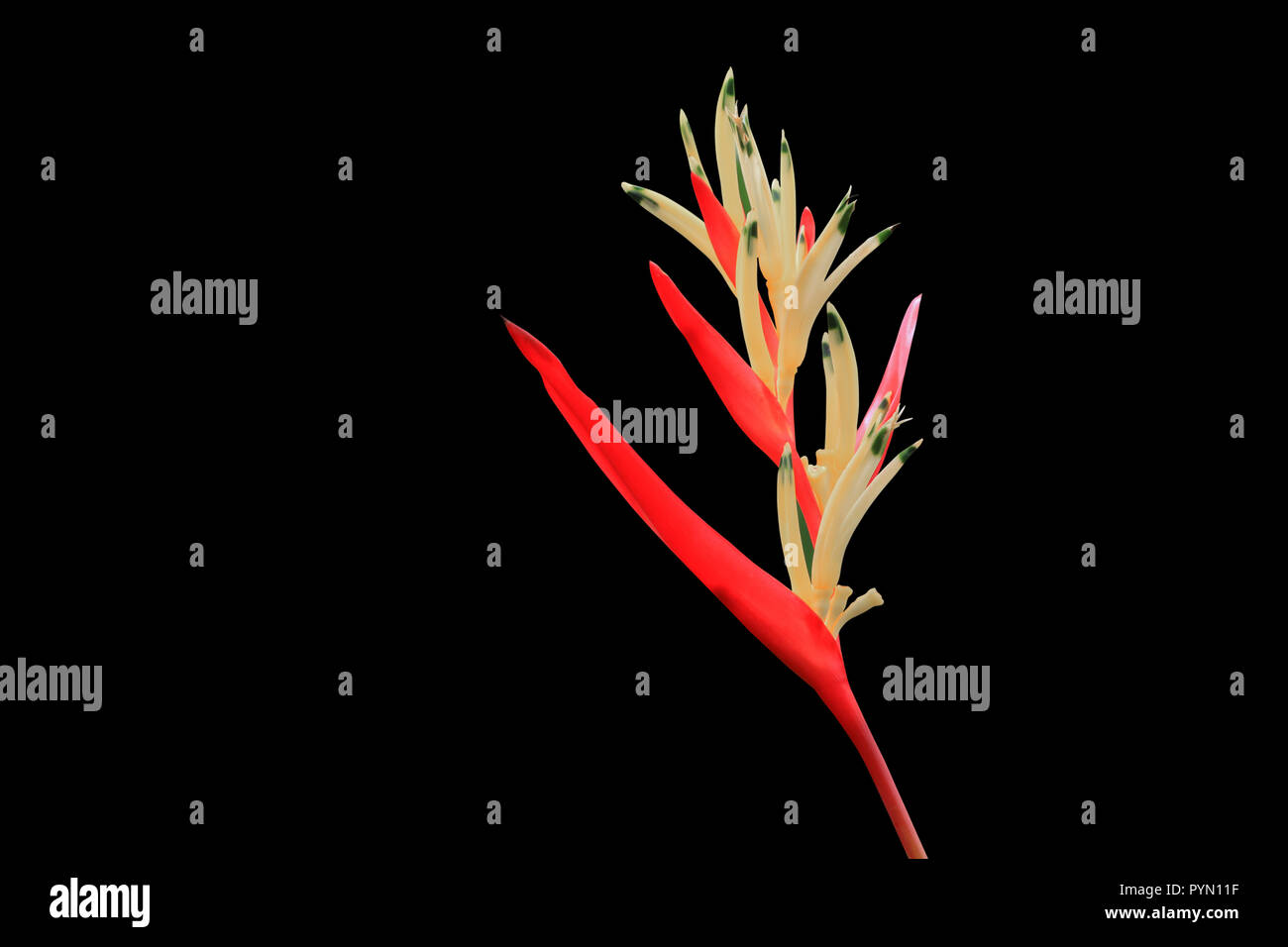 bird of paradise Beautiful red flower Strelitzia Reginae   isolated on black background and clipping path - Stock Image