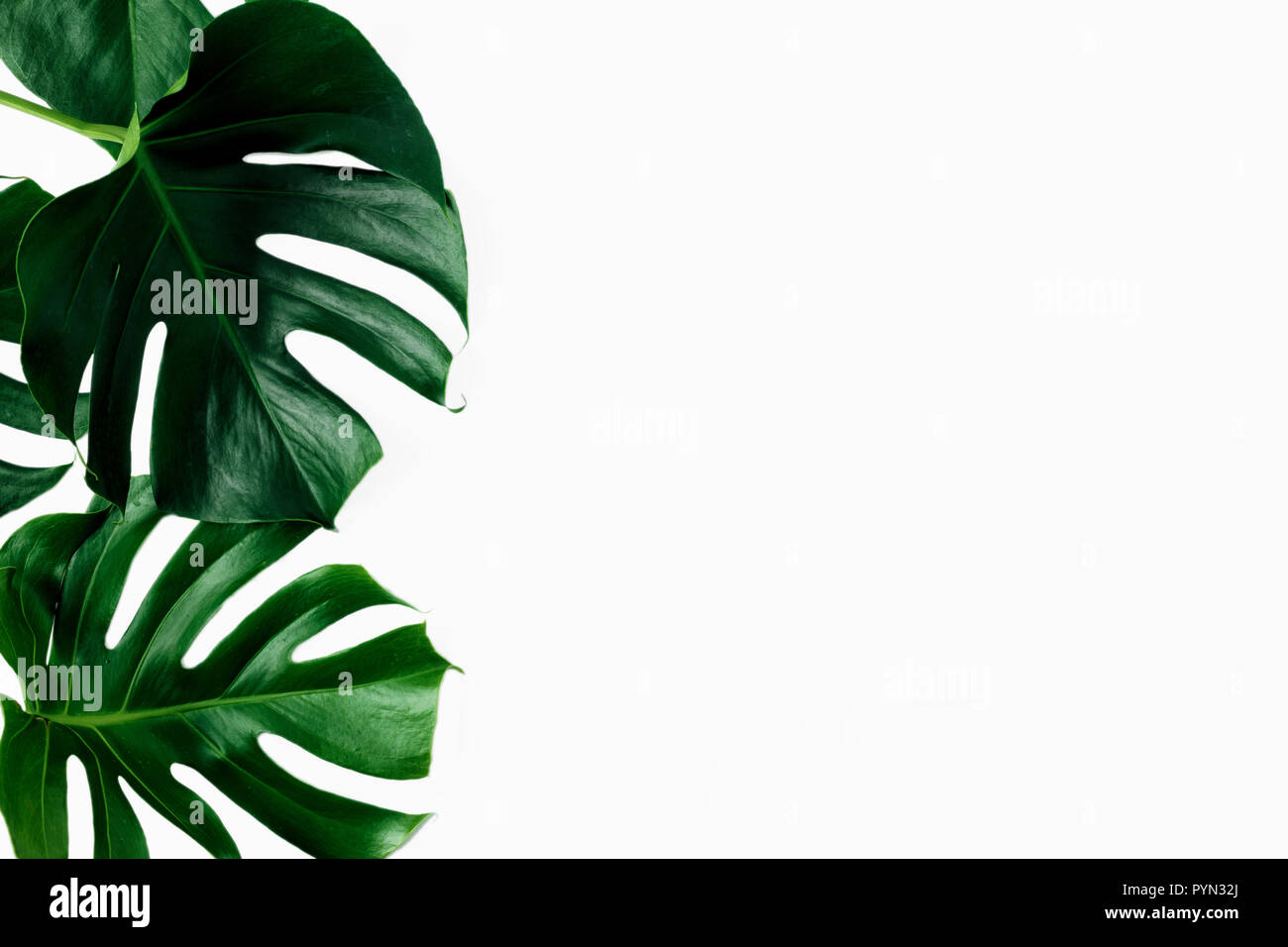 Tropical Leaves Monstera On White Background With Copy Space Top View Flat Lay Stock Photo Alamy .tropical leaves tropical flowers tropical leaf tropical fruit tropical fish tropical border tropical rainforest tropical background tropical fruits tropical bird tropical beach tropical island tropical birds tropical trees tropical drink tropical flamingo tropical party tropical. https www alamy com tropical leaves monstera on white background with copy space top view flat lay image223583546 html