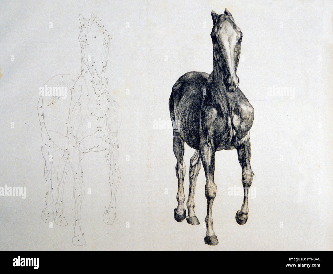 Horse Front View With Adjacent Outline Copy Ca 1766 Or 1823 Stock Photo Alamy