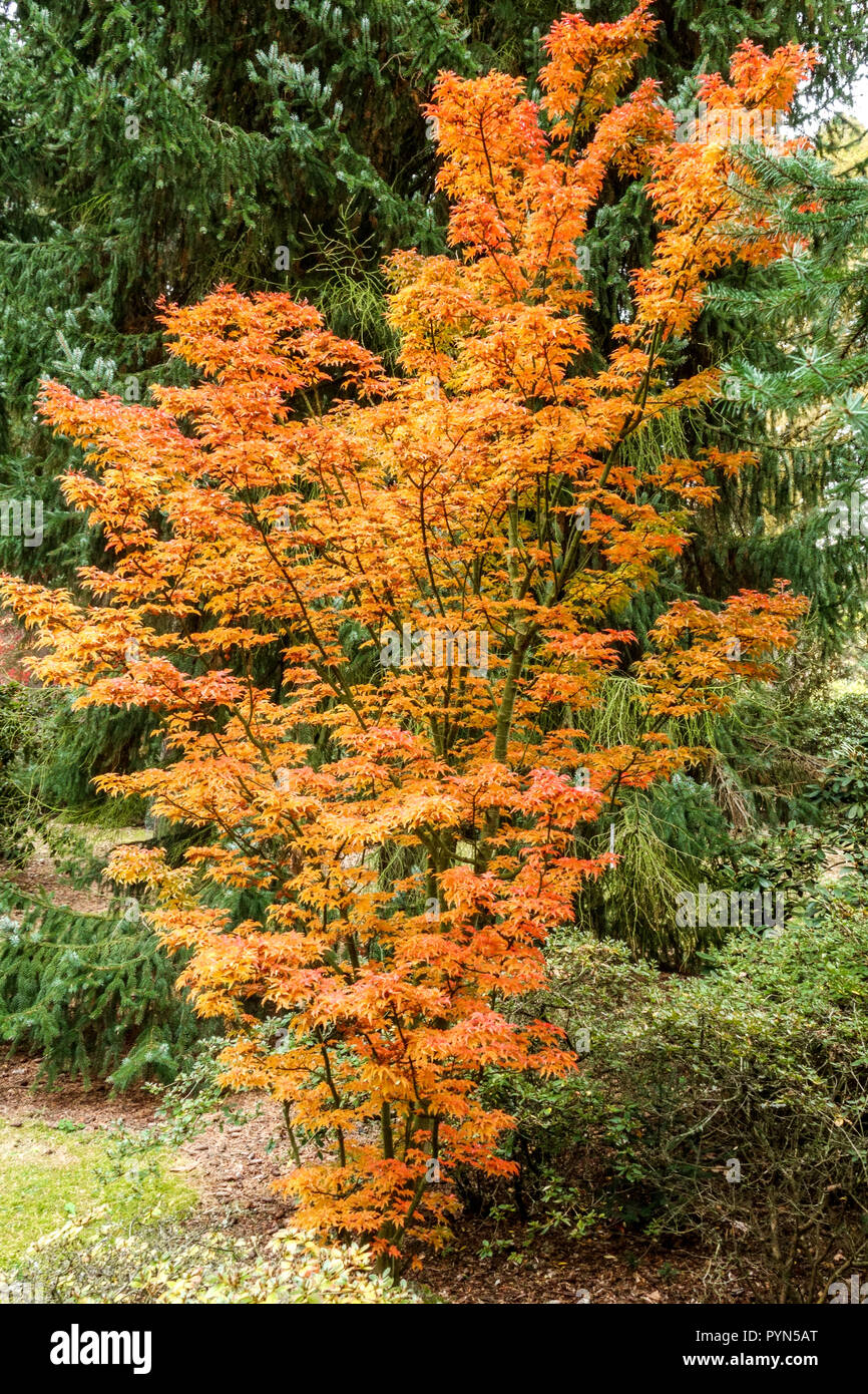 Japanese Maple Acer Palmatum Shishigashira In Autumn Garden Stock