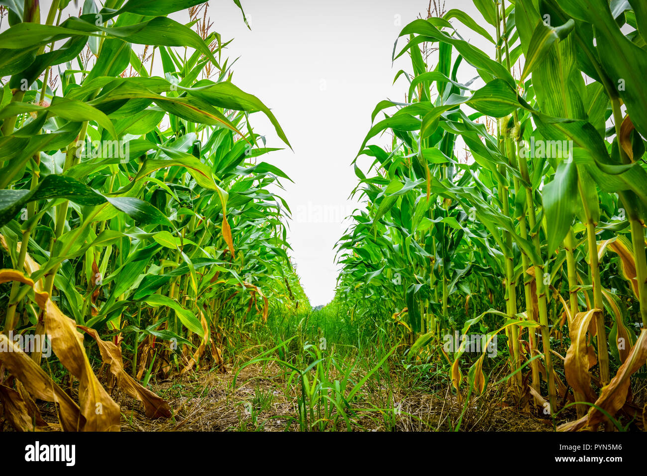 Corn field in Kirchwerder, Hamburg, Germany, Europe, Maisfeld in Kirchwerder, Deutschland, Europa - Stock Image