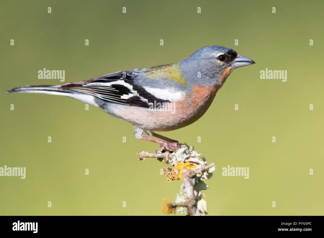 Common Chaffinch (Fringilla coelebs africana), side view of an adult male standing on a branch in Morocco - Stock Image