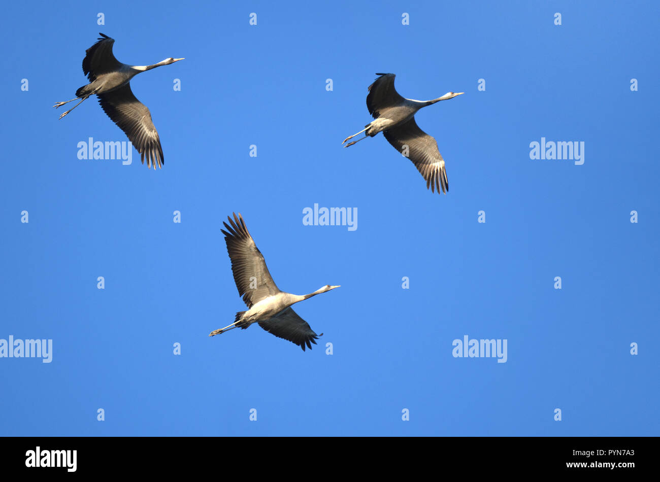 A flight of common cranes (grus grus) over the ponds of Arjuzanx, south western France. Stock Photo