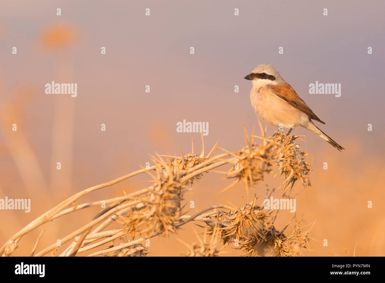 Male Red-backed shrike (Lanius collurio) perched on a branch. This bird is a predatory songbird that has a hooked beak to feed on meat, but lacks the  - Stock Image