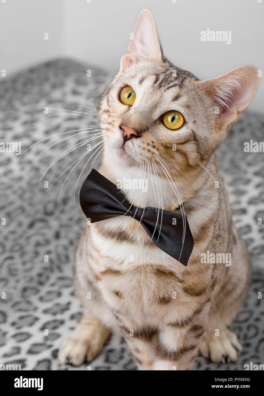 Cute young male Bengal cat kitten wearing bow tie looking up - Stock Image