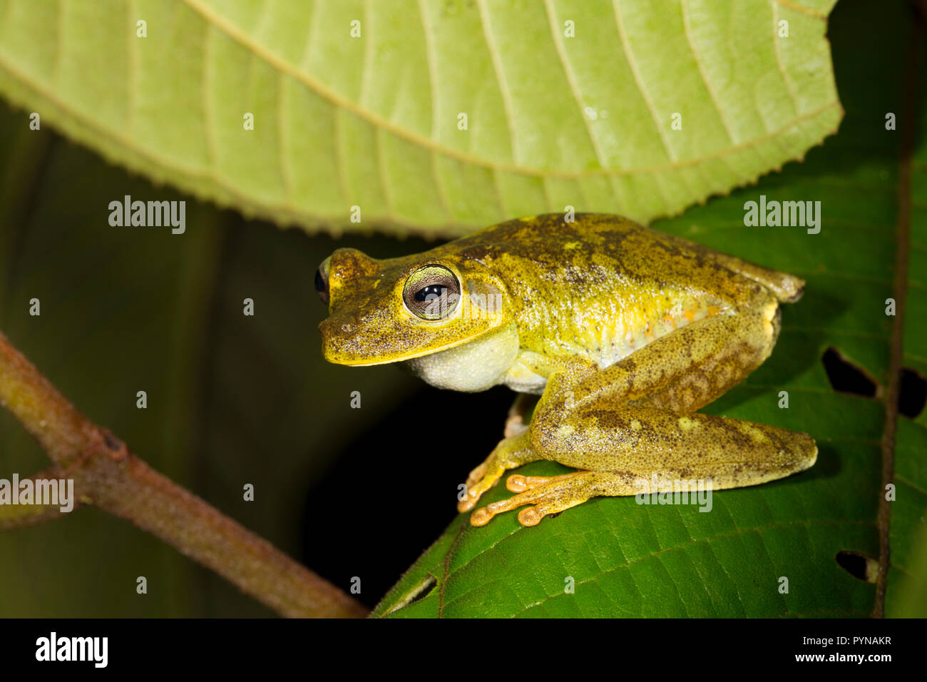 A tree frog photographed in the jungles of Suriname near Bakhuis. Suriname is noted for its unspoiled rainforests and biodiversity with a huge range o - Stock Image