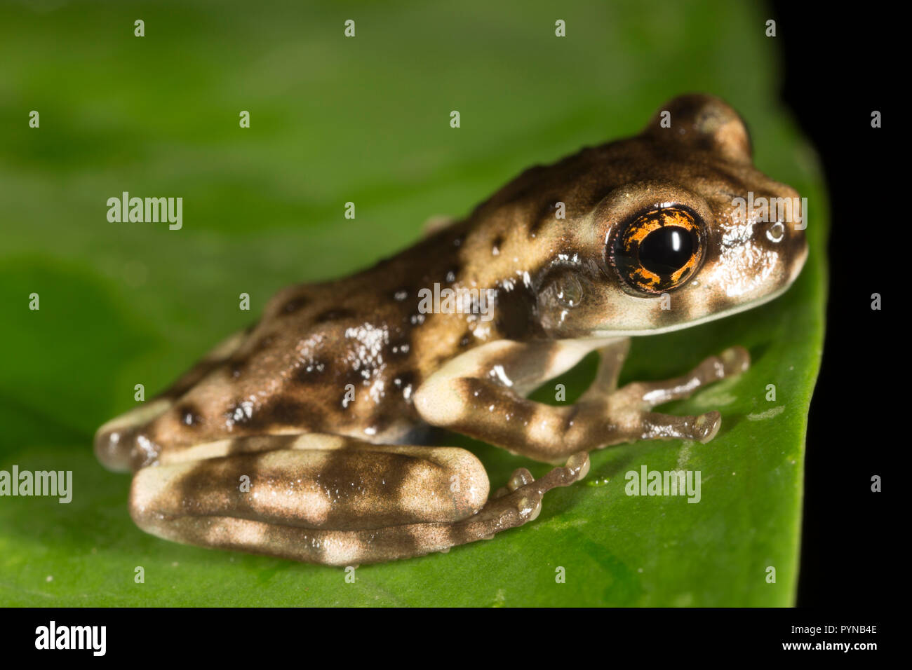 A tree frog photographed in the jungles of Suriname near Botapassie on the Suriname River. Suriname is noted for its unspoiled rainforests and biodive - Stock Image