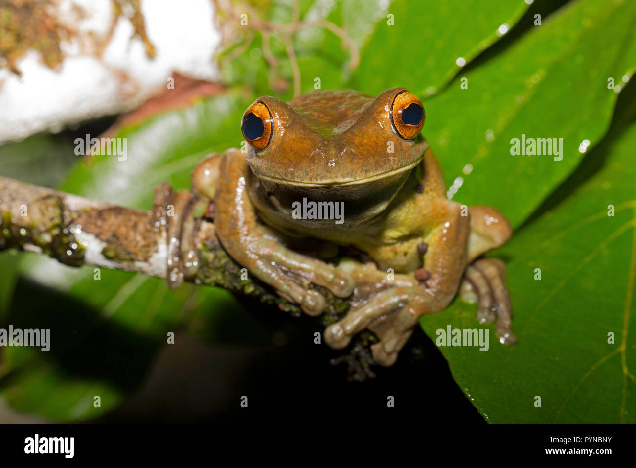 A tree frog photographed in the jungles of Suriname near Botapassie on the Suriname River. Suriname is noted for its unspoiled rainforests and biodive Stock Photo