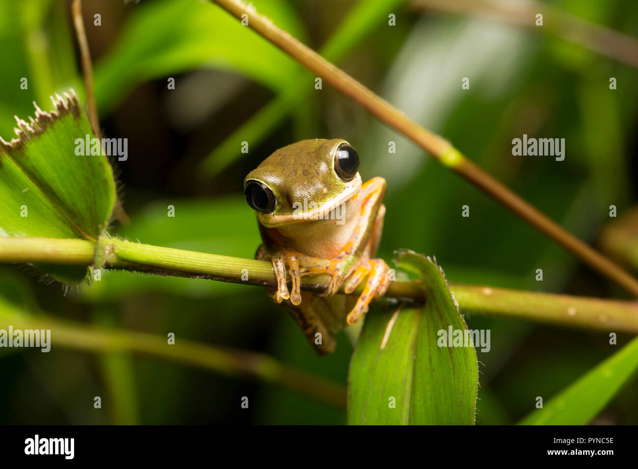 A tree frog photographed in the jungles of Suriname near Raleighvallen nature reserve on the Coppename River. Suriname is noted for its unspoiled rain - Stock Image