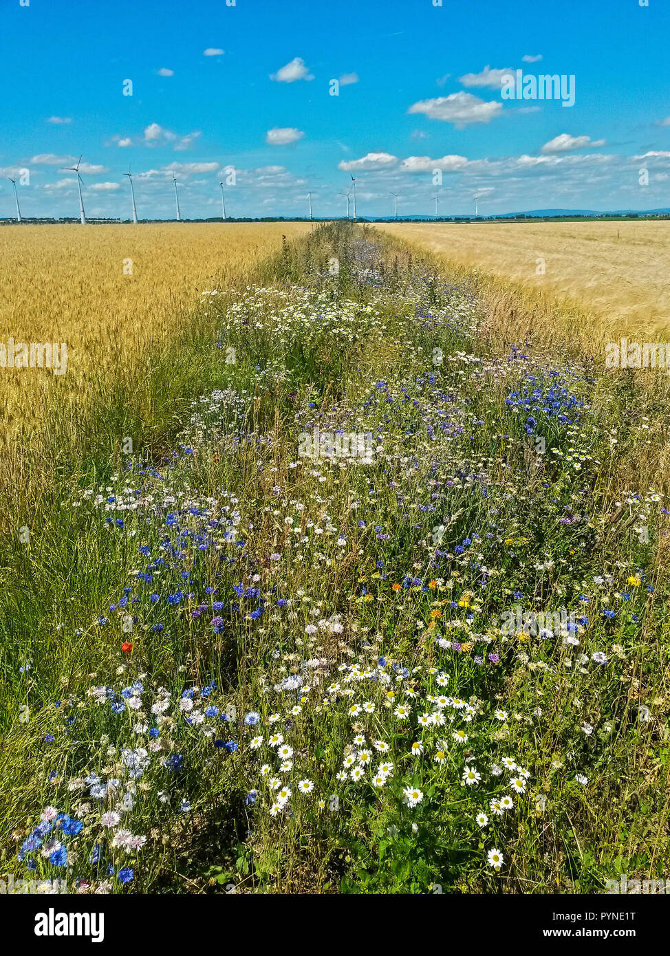 Wildflower Field Margin For Insects In Intensive Agriculture Hesse Germany Stock Photo Alamy