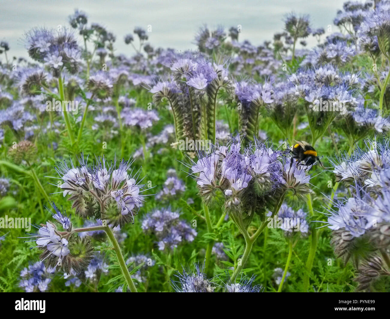 Buff-tailed bumble bee (Bombus terrestris) on Scorpionweed (Phacelia tanacetifolia), Hesse, Germany - Stock Image