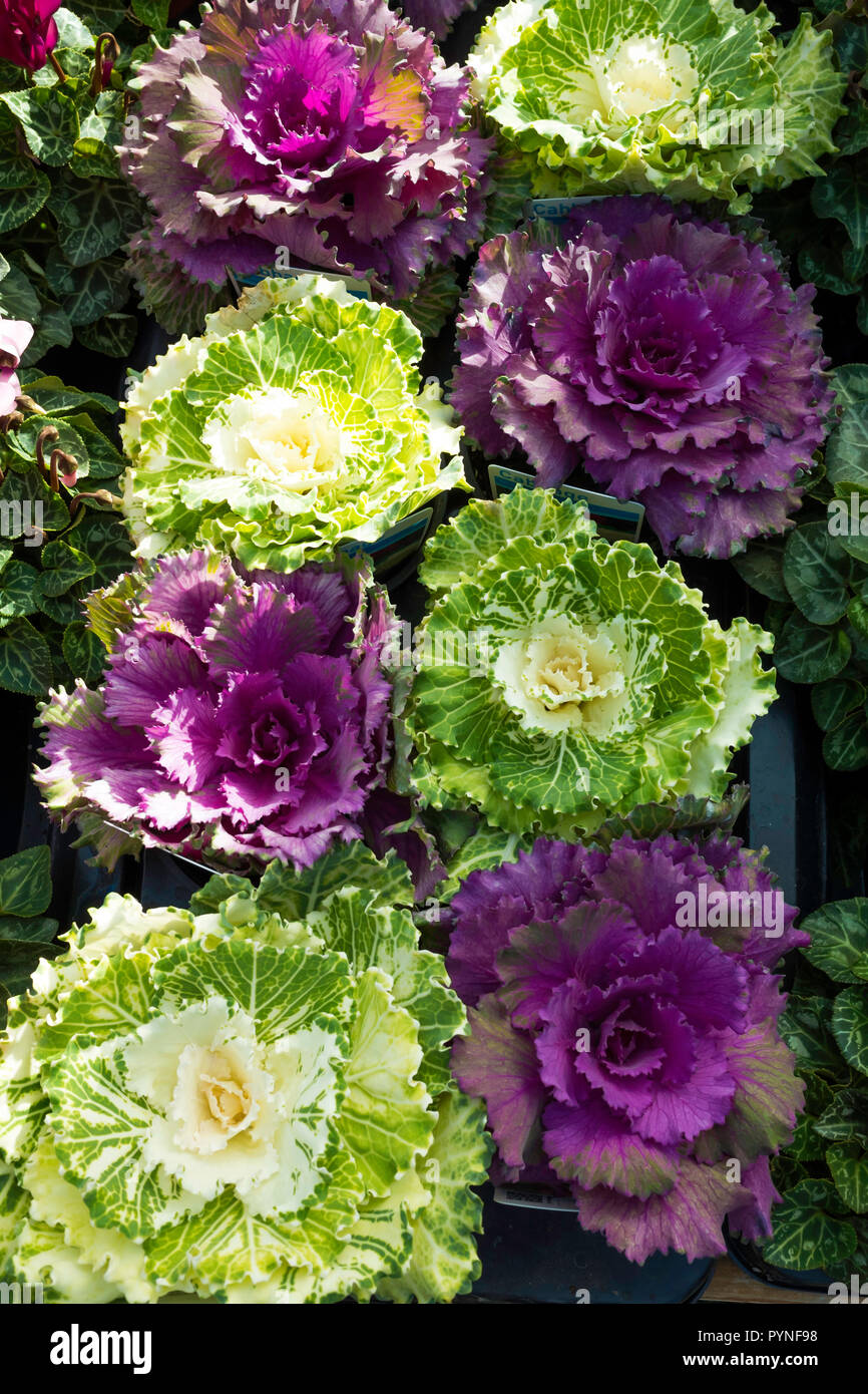Colourful Ornamental Brassica Cabbage High Resolution Stock Photography And Images Alamy
