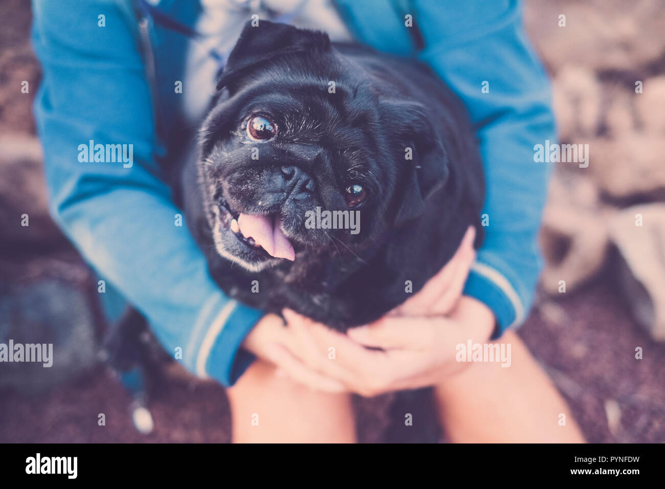little pug dog in arm to his female mistress looks with big and alert eyes. - Stock Image
