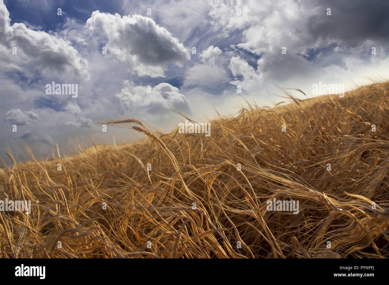 Impressionism. Painting of field of wheat. - Stock Image