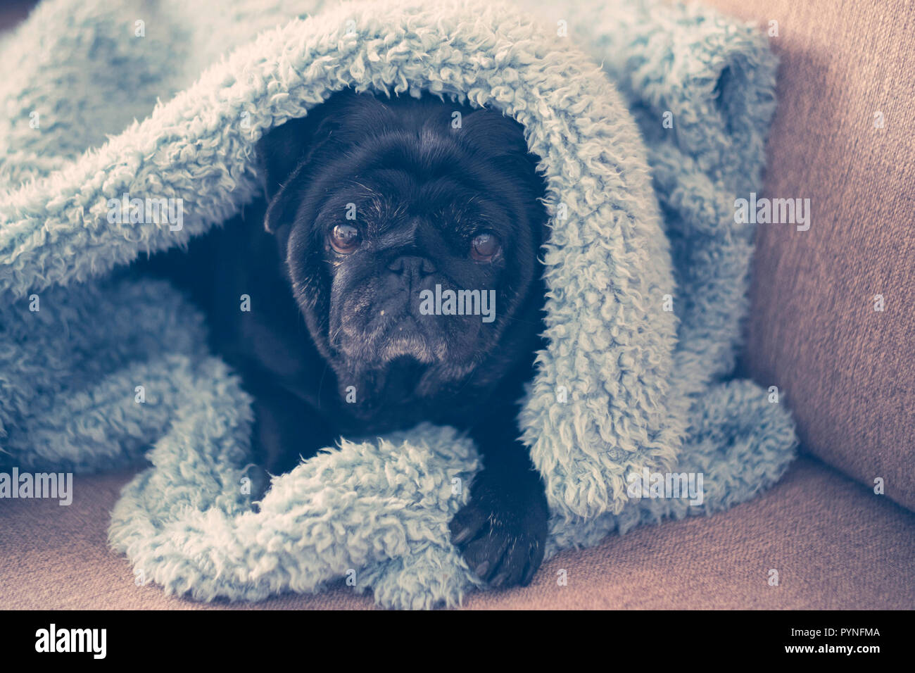Beautiful and nice pug puppy dog at home protected froma blue sheet, lay down on the sofa to enjoy home with his family and owners. Pet Therapy with l - Stock Image