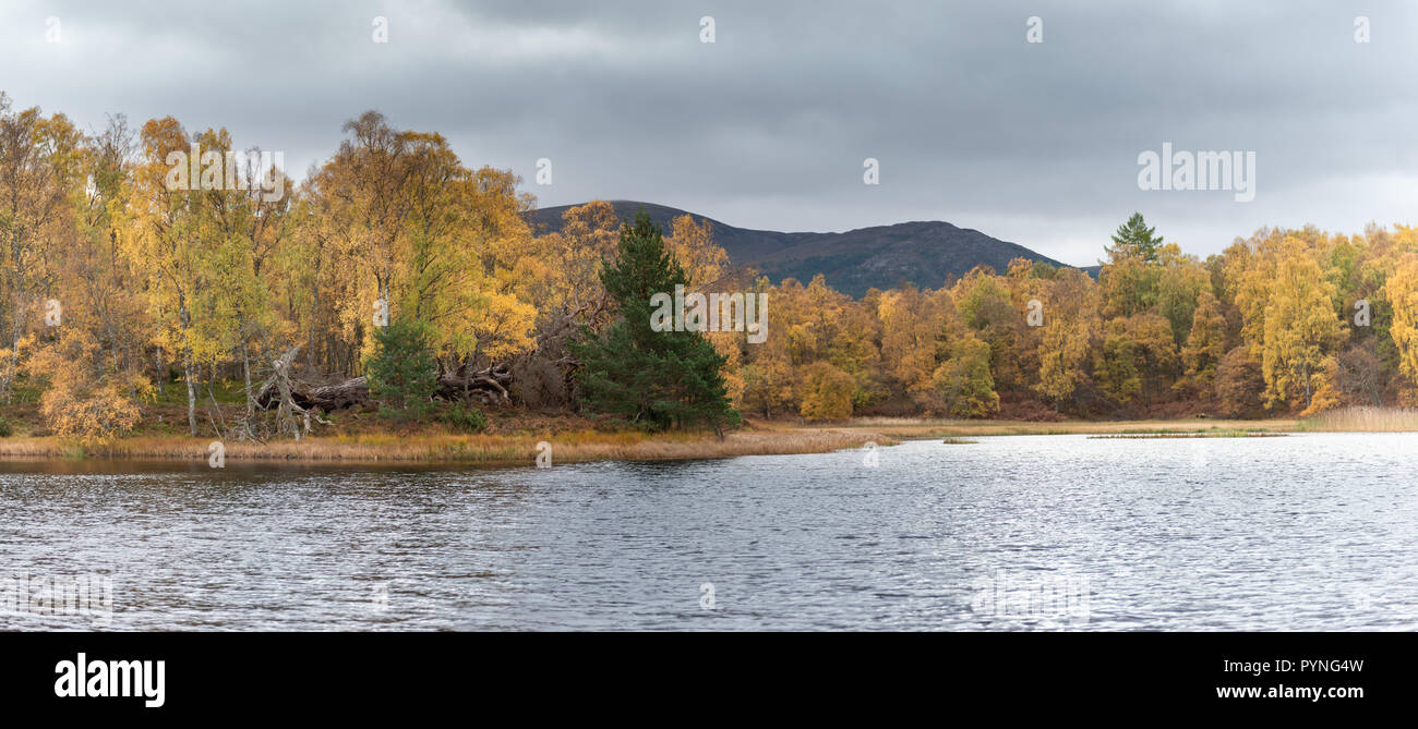 Magnificent autumn colours amongst the trees on the edge of a small loch within Rothiemurchus estate, near Aviemore in the Scottish Highlands. - Stock Image