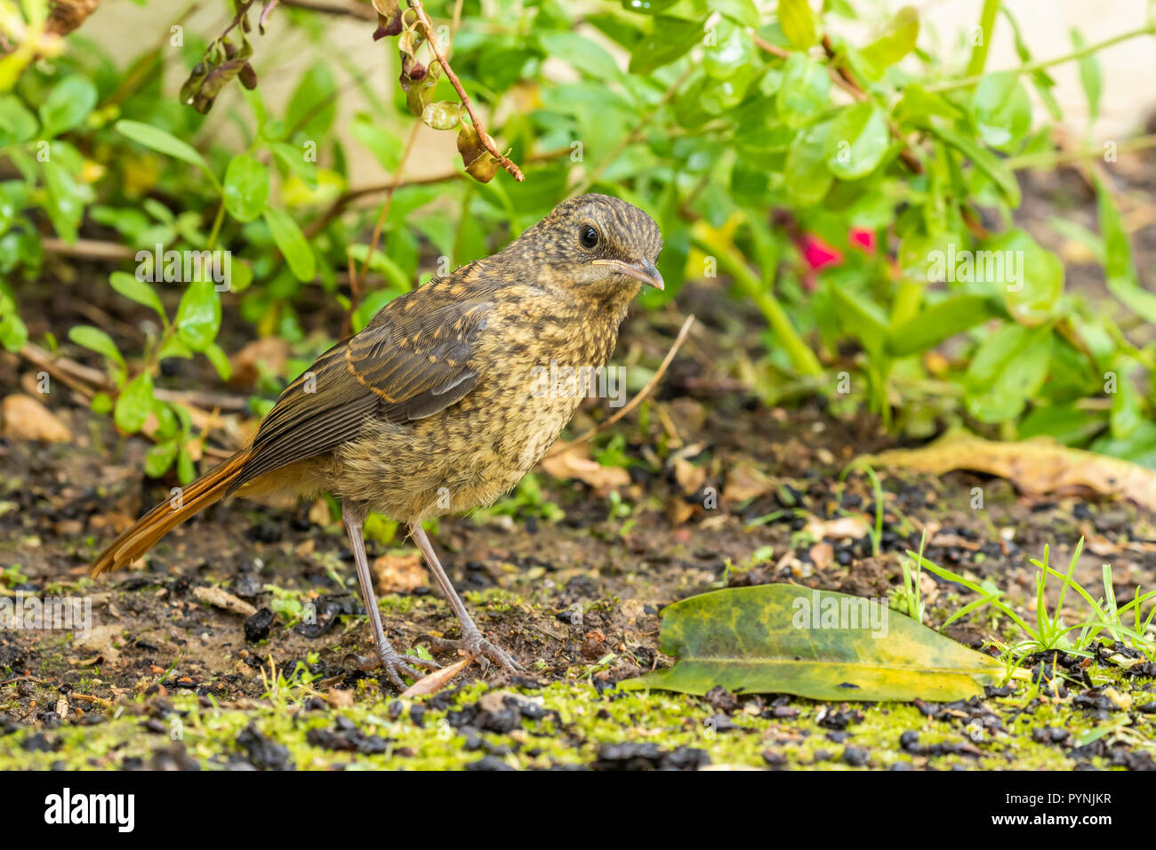 Juvenile Cape Robin-chat Cassypha caffra Robertson South Africa hopping around undergrowth in suburban garden - Stock Image