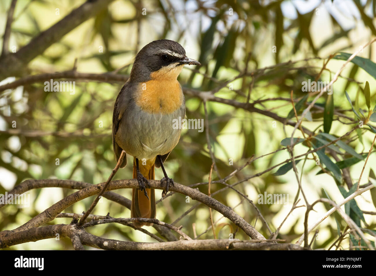 Frontal view single adult Cape Robin-chat Cassypha caffra Robertson South Africa perched in tree in suburban garden Robertson, Western Cape, S Africa - Stock Image