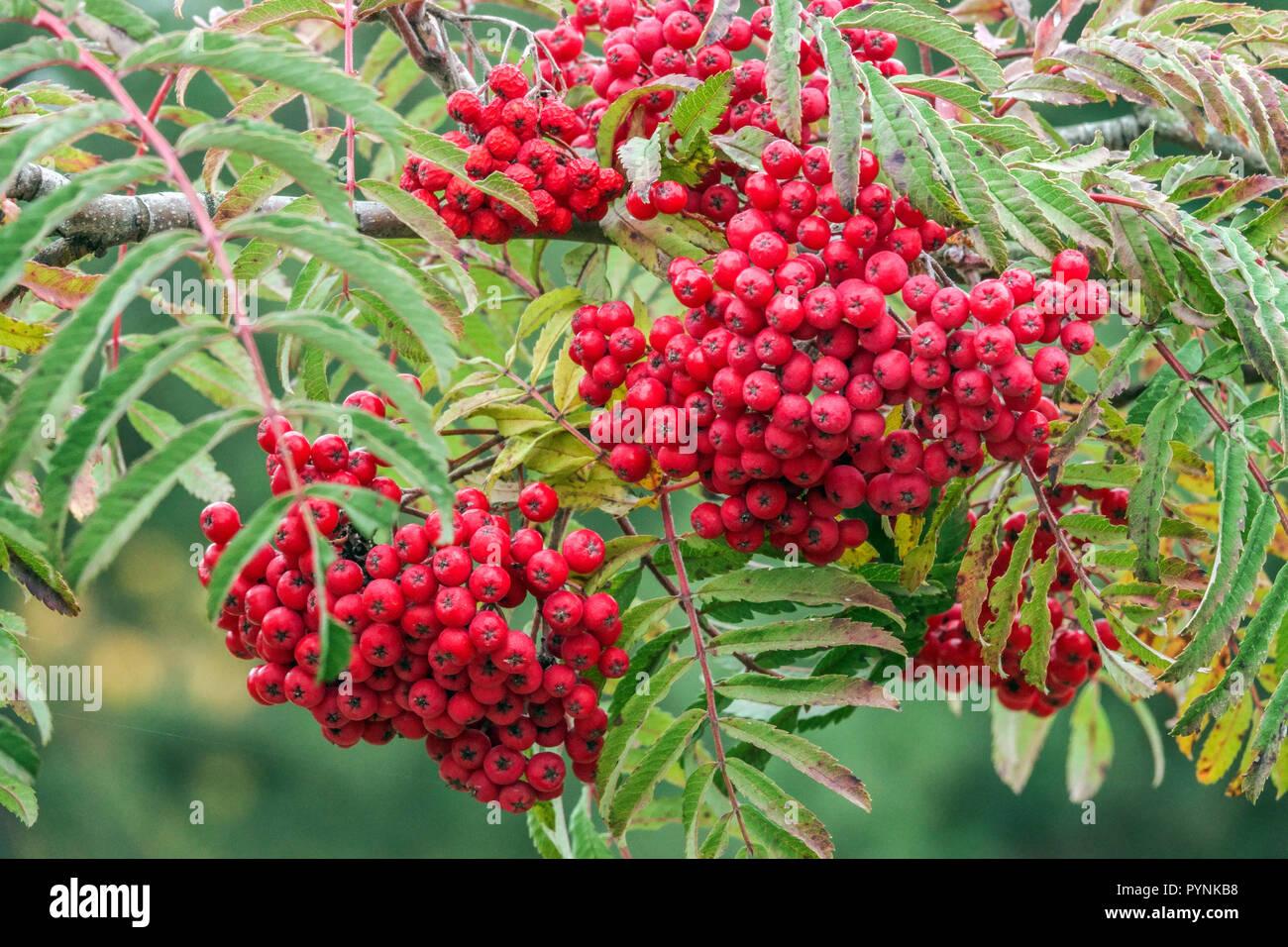 Rowan Mountain Ash Sorbus Chinese Lace Tree Autumn Red