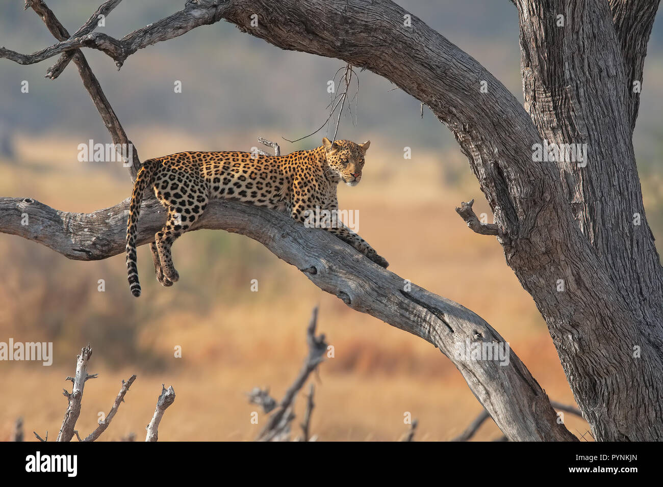 Leopard in Moremi - Stock Image