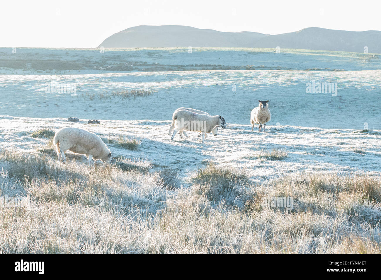sheep in frosty field in Stirlingshire, Scotland, UK - Stock Image
