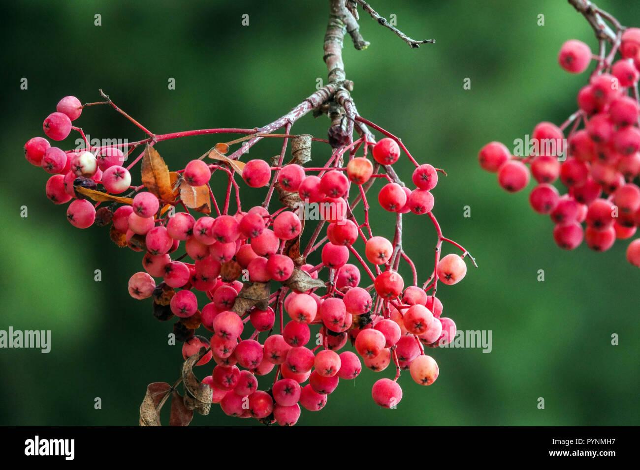 Rowan, Sorbus 'Chamois Glowing Pink', berries - Stock Image