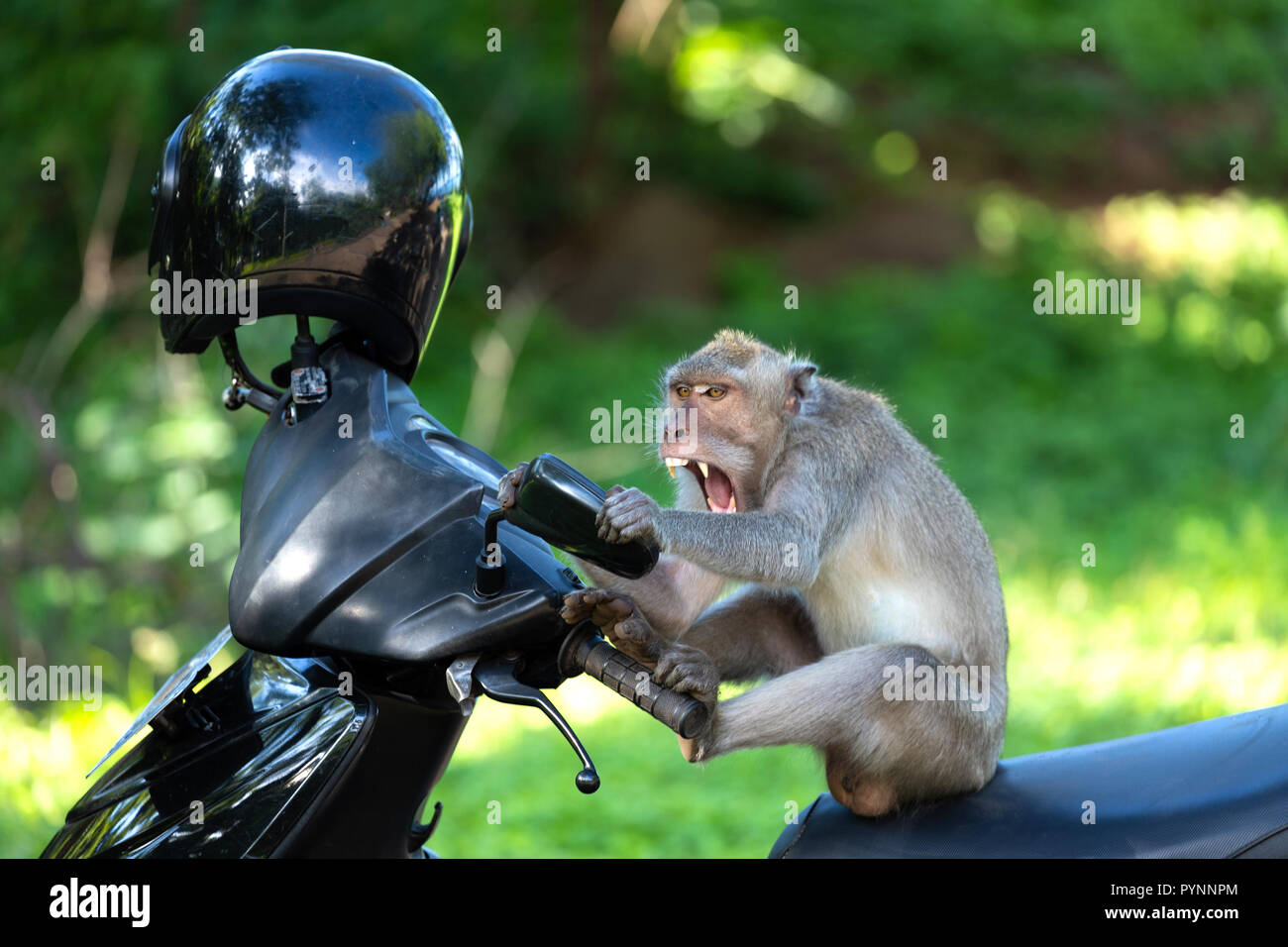Crazy and funny monkey sitting on a motorbike and looking himself in the mirror.