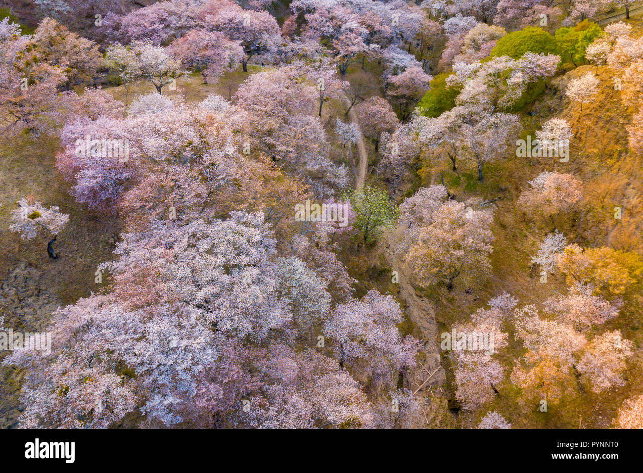Aerial drone view of Yoshino mountain covered by full blossom cherry trees, Nara province, Japan - Stock Image