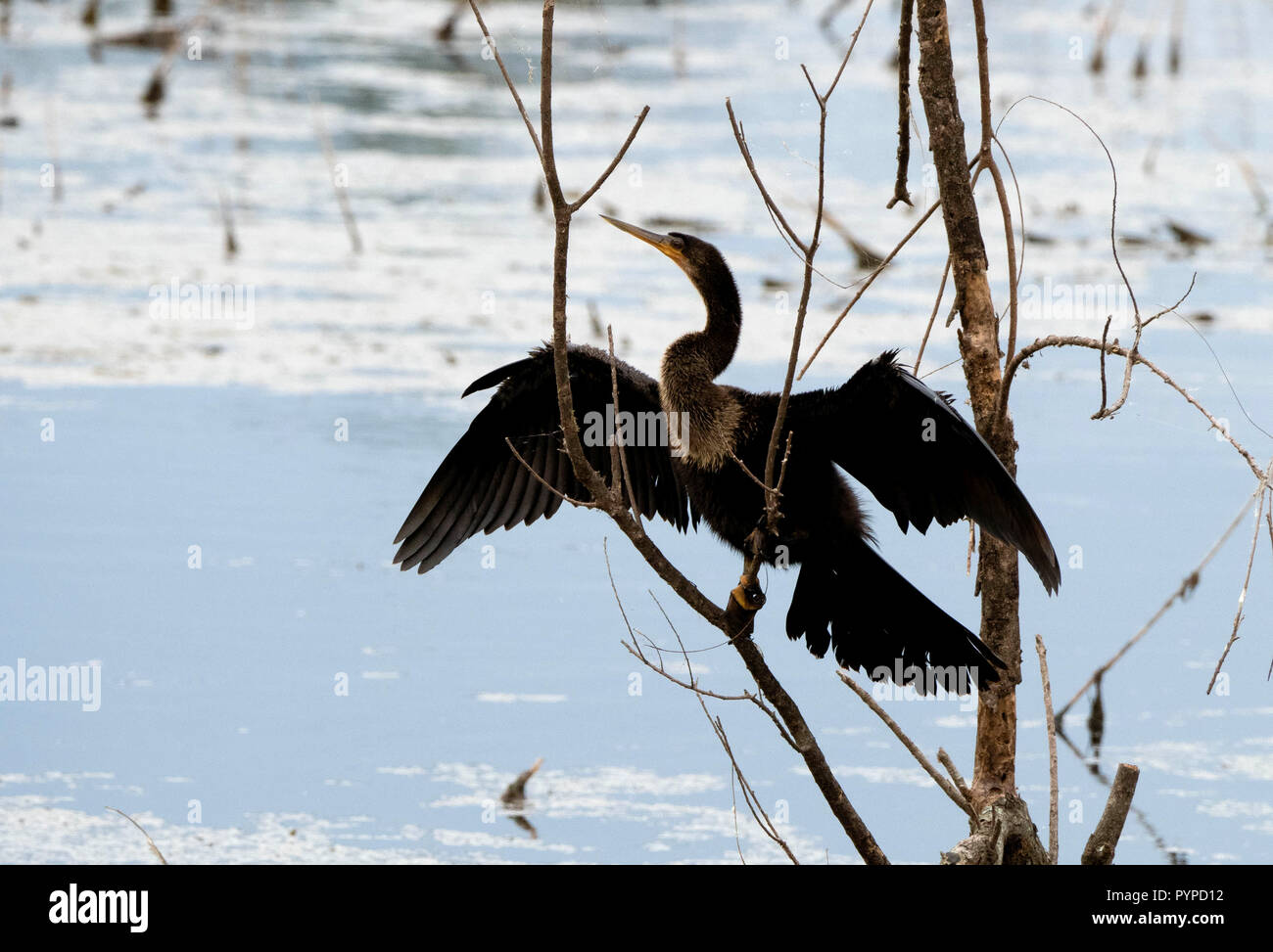 Anhinga in characteristic feather drying pose at the Savannah National Wildlife Refuge in South Carolina USA - Stock Image