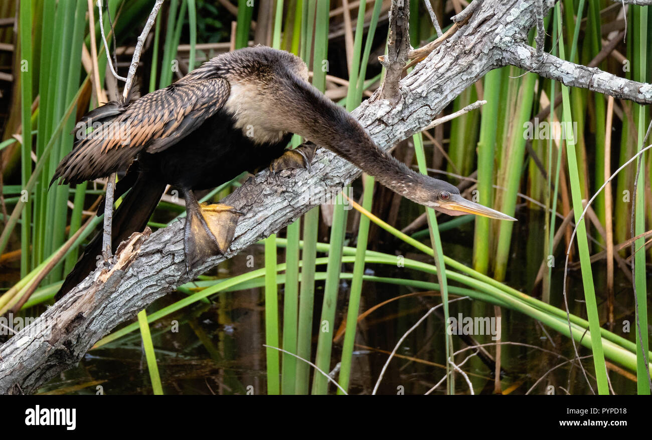 Anhinga searching for fish from a fallen tree at the Savannah National Wildlife Refuge in South Carolina USA - Stock Image