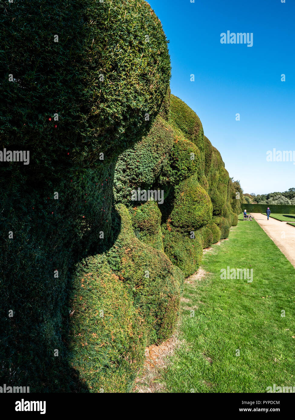 Ancient yew hedge bordering the formal gardens at Montacute House in Somerset UK morphed into fantastical shapes over years of pruning - Stock Image